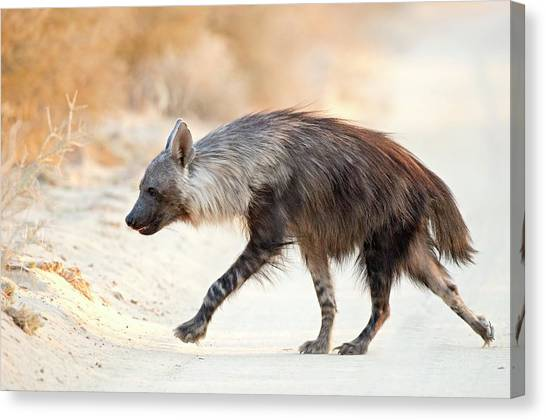 Omnivore Canvas Print - Brown Hyena by Tony Camacho