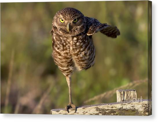 Burrowing Owl Photograph Canvas Print