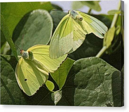 Butterfly Love Canvas Print by Dart and Suze Humeston