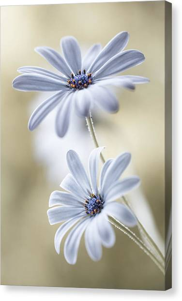 Tenderness Canvas Print - Cape Daisies by Mandy Disher