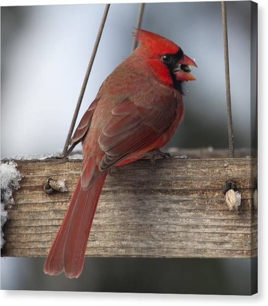 Cardinal Canvas Print by John Kunze
