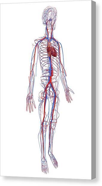 Printable Blood Vessels Diagram - Enthusiast Wiring Diagrams •