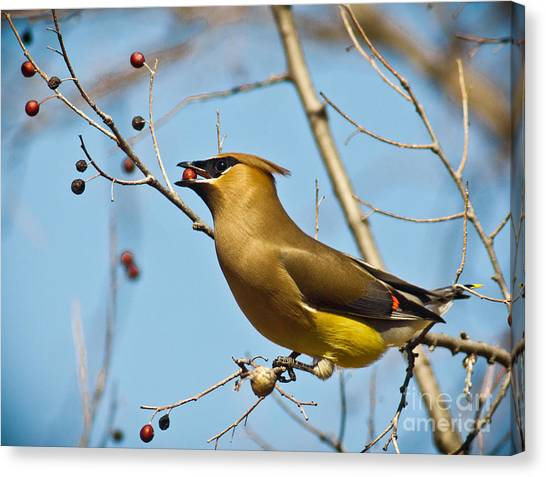Cedar Waxing Canvas Print - Cedar Waxwing With Berry by Robert Frederick