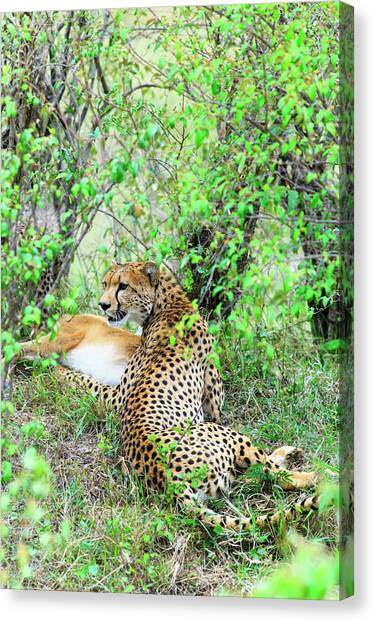 Kenyan Canvas Print - Cheetah With Its Kill by Babak Tafreshi