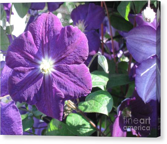 Clematis With Blazing Center Canvas Print