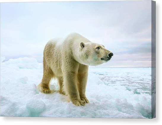 Bear Canvas Print - Close Up Of A Standing Polar Bear by Peter J. Raymond