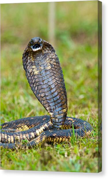 Poisonous Snakes Canvas Print - Close-up Of An Egyptian Cobra Heloderma by Panoramic Images
