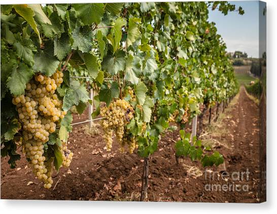 Close Up Of Ripe Wine Grapes On The Vine Ready For Harvesting Canvas Print