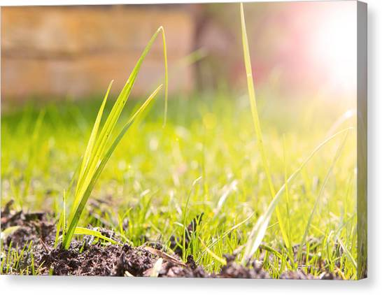 Canvas Print - Close Up View Of The Grass In A Garden Shot From Ground Level by Fizzy Image