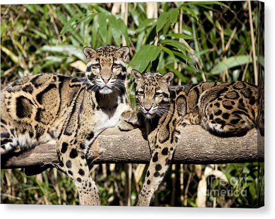 Clouded Leopards Canvas Print
