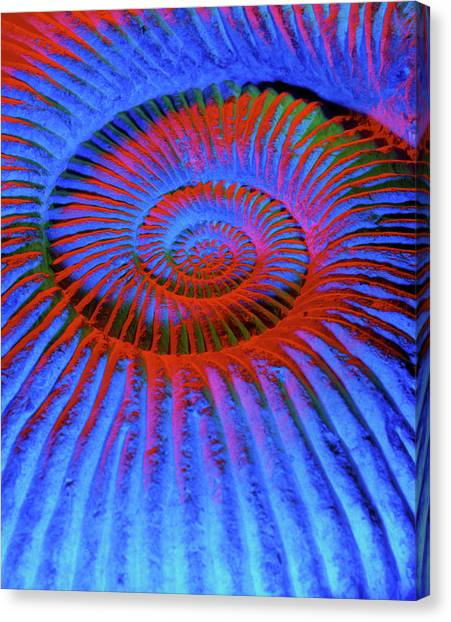 Sahara Desert Canvas Print - Coloured Image Of A Fossilised Ammonite Shell by Martin Bond/science Photo Library