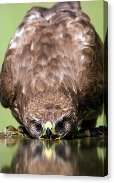 Buzzards Canvas Print - Common Buzzard Drinking by John Devries/science Photo Library