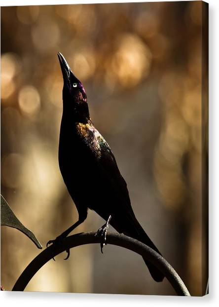 Canvas Print featuring the photograph Common Grackle by Robert L Jackson