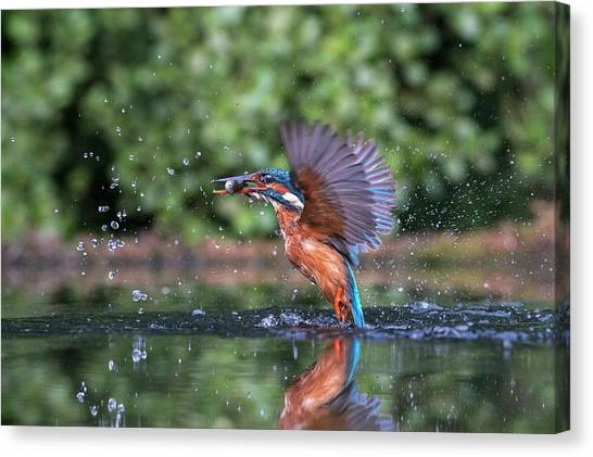 Kingfisher Canvas Print - Common Kingfisher Catching A Fish by Dr P. Marazzi