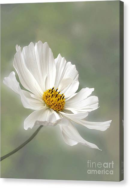 Cosmos Flower In White Canvas Print