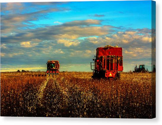 Cotton Harvest Canvas Print