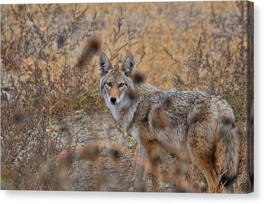 Coyote Eyes Canvas Print