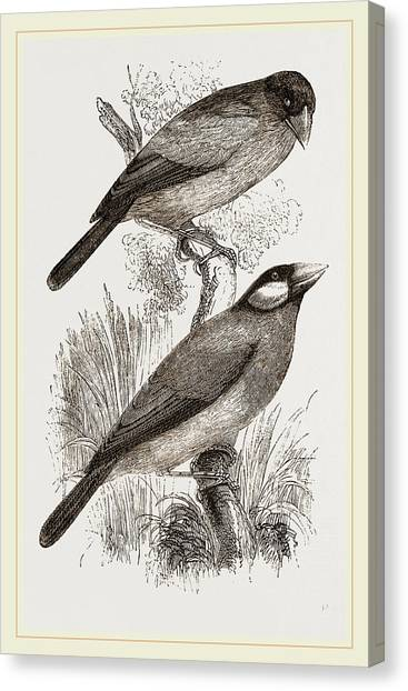 Crossbills Canvas Print - Crossbills by Litz Collection