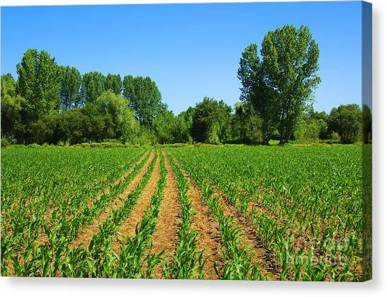 Fertilize Canvas Print - Cultivated Land by Carlos Caetano