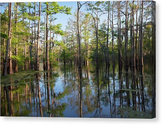 Atchafalaya Basin Canvas Print - Cypress-tupelo Forest by Jim West
