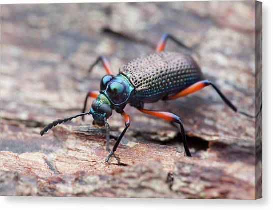 Darkling Beetle Canvas Print by Melvyn Yeo