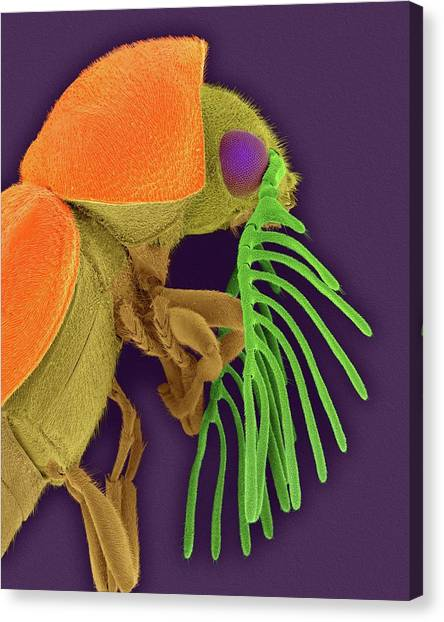 Pest Canvas Print - Deathwatch Beetle by Dennis Kunkel Microscopy/science Photo Library