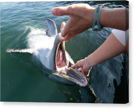 Bottlenose Dolphins Canvas Print - Dolphin Training by Louise Murray/science Photo Library