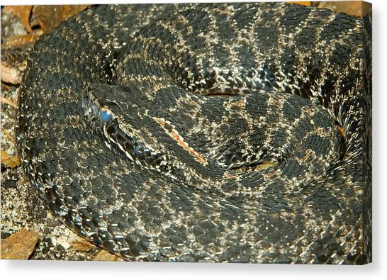 Pigmy Canvas Print - Dusky Pigmy Rattlesnake by Millard H. Sharp
