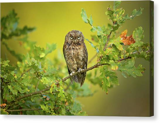 Eurasian Scops Owl Canvas Print by Milan Zygmunt