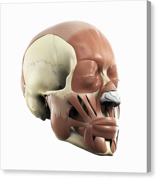 Mastoid Process Canvas Prints Fine Art America