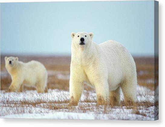 Polar Bear Canvas Print - Female Polar Bear With Spring Cub by Steven J. Kazlowski / GHG