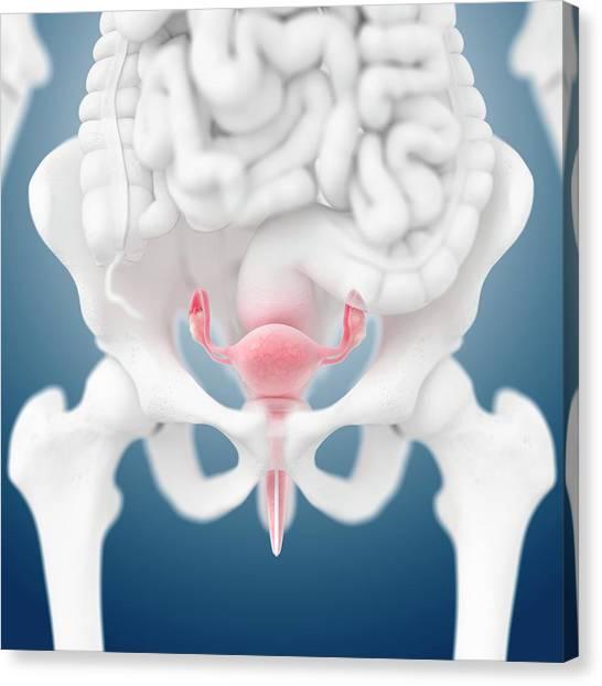 Groin Canvas Print - Female Reproductive Organs by Springer Medizin