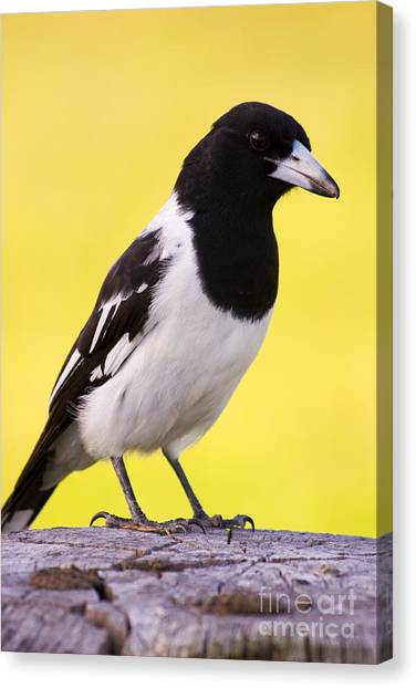 Magpies Canvas Print - Fencepost Magpie by Jorgo Photography - Wall Art Gallery