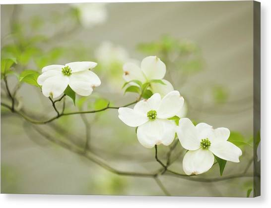 Canvas Print - Flowering Dogwood (cornus Florida) by Maria Mosolova/science Photo Library