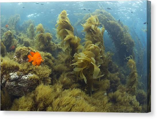 Kelp Forest Canvas Print - Garibaldi In Giant Kelp Forest Catalina by Richard Herrmann