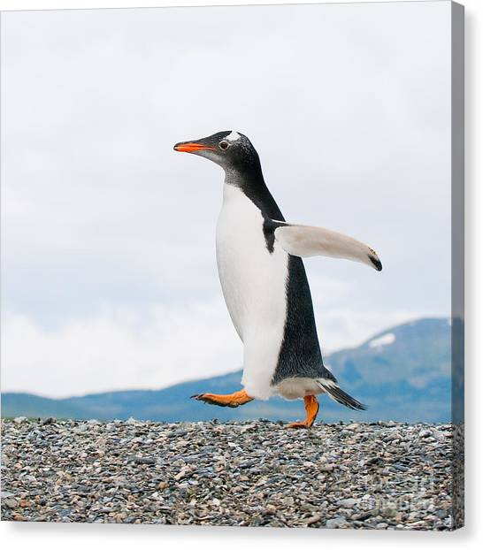 Penguins Canvas Print - Gentoo Penguin by Konstantin Kalishko
