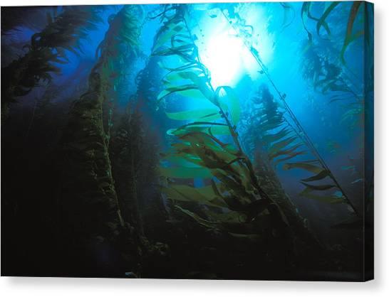 Kelp Forest Canvas Print - Giant Kelp Forest by Greg Ochocki