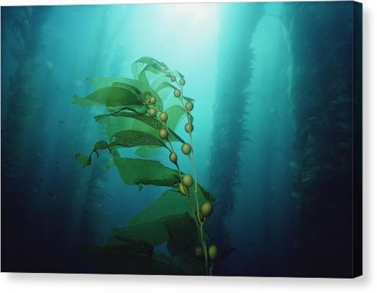 Kelp Forest Canvas Print - Giant Kelp Macrocystis Pyrifera Forest by Flip Nicklin