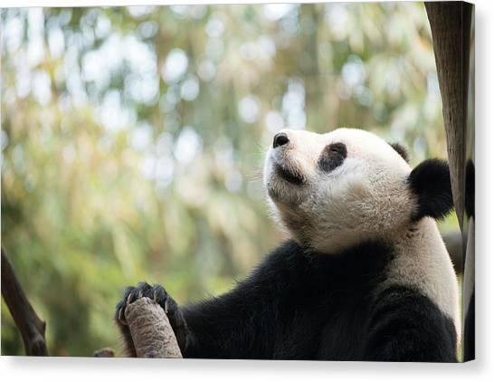 Sleeping Giant Canvas Print - Giant Panda by Pan Xunbin