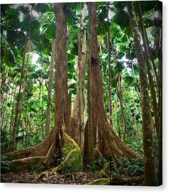 Daintree Rainforest Canvas Print - Gigantic Trees In Fan Palm Forest by Dirk Ercken