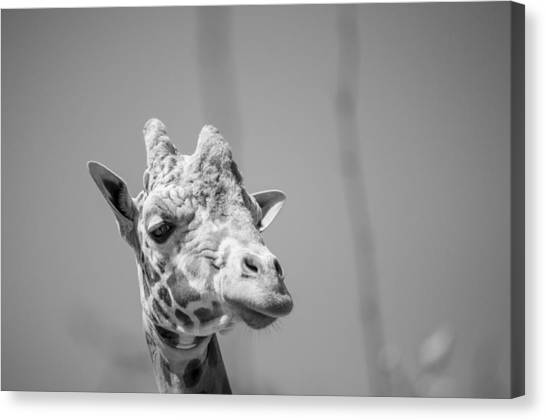 Large Mammals Canvas Print - Giraffe-2 by Casey Merrill