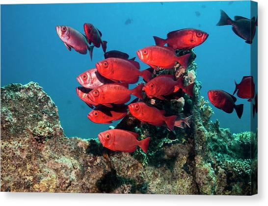 Goggle Eyes On A Reef Canvas Print by Georgette Douwma
