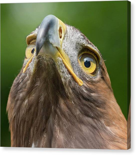 Golden Eagle Canvas Print - Golden Eagle by Linda Wright