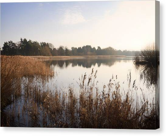 Golden Reeds Canvas Print by Shirley Mitchell