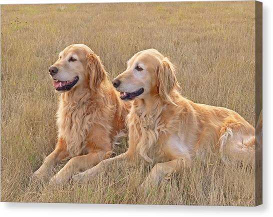 Golden Retrievers In Golden Field Canvas Print