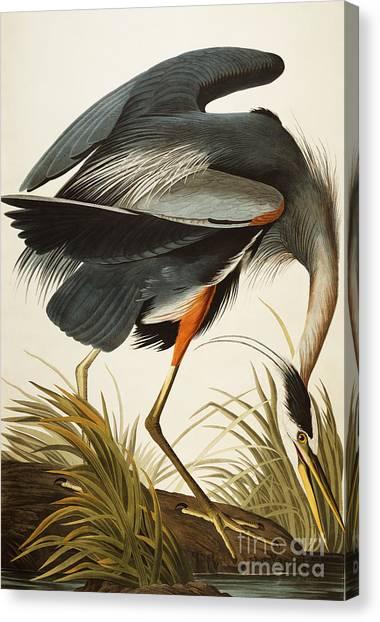 Herons Canvas Print - Great Blue Heron by John James Audubon