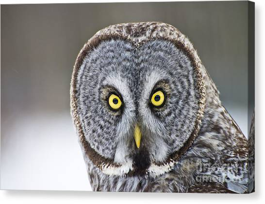 Great Gray Owl Portrait Canvas Print