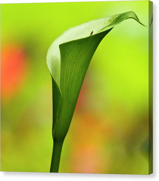 Green Calla Lily Canvas Print