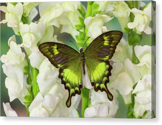 Snapdragons Canvas Print - Green Swallowtail Butterfly Papilio by Darrell Gulin