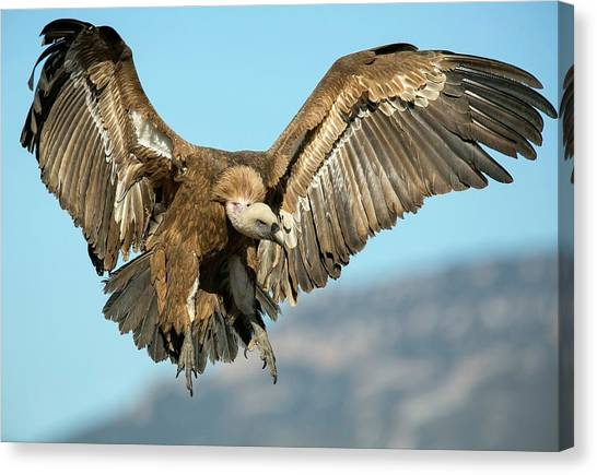 Griffons Canvas Print - Griffon Vulture Flying by Nicolas Reusens